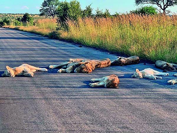Leeus span uit in die verlate paaie van die Kruger