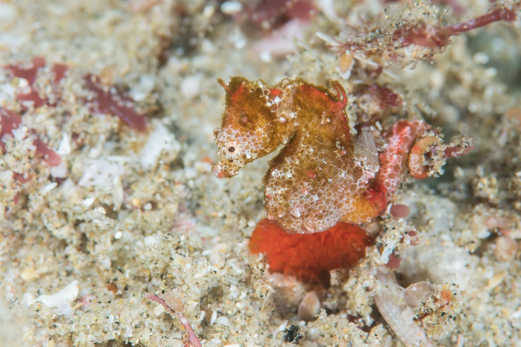 Hippocampus nalu - South African pygmy seahorse, S