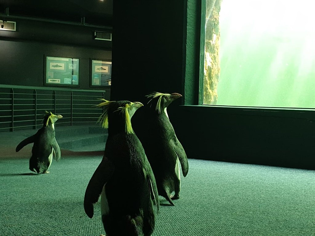 Smile and wave, boys! Penguins take over Cape Town aquarium