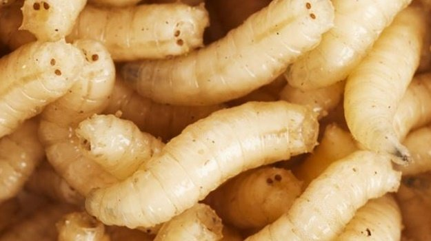 Could maggots fuel high-protein sports drinks? This SA startup thinks so