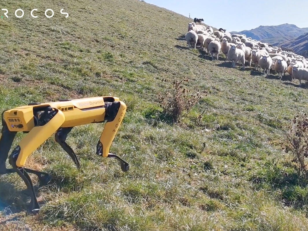 A robot dog now herds sheep in New Zealand — here's how it works - Business Insider South Africa