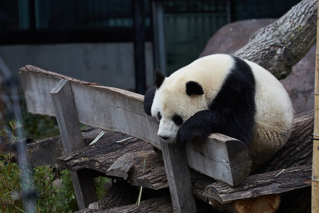 A panda bear relaxes in its enclosure at the Copenhagen Zoo.