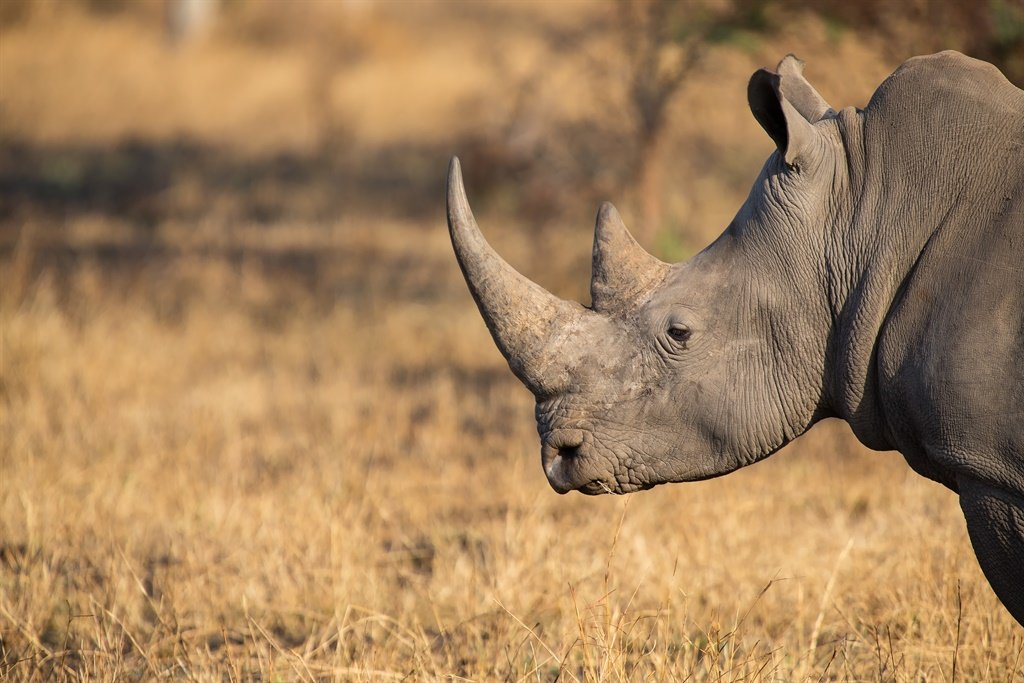 The government said that at least 56 of the animals had been killed by poachers in the past two years, marking the worst onslaught since Botswana's black rhino population was wiped out in 1992 and the number of white rhinos dropped to just 27. Picture: iStock/  AOosthuizen