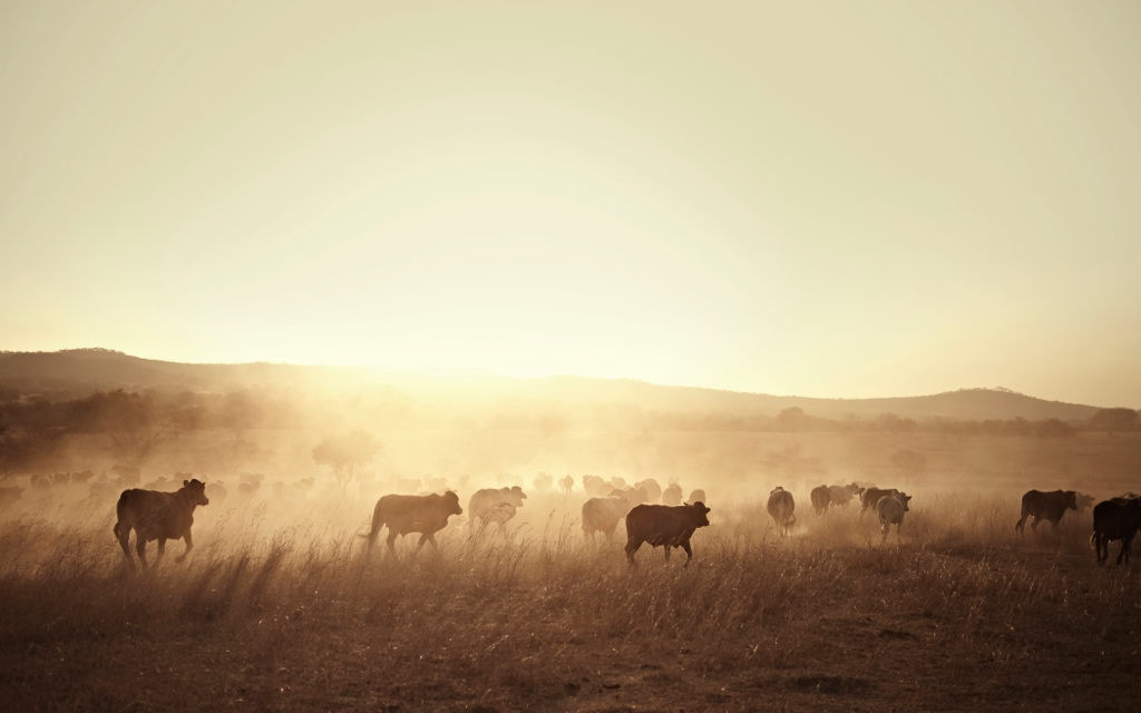 Cattle at dusk.