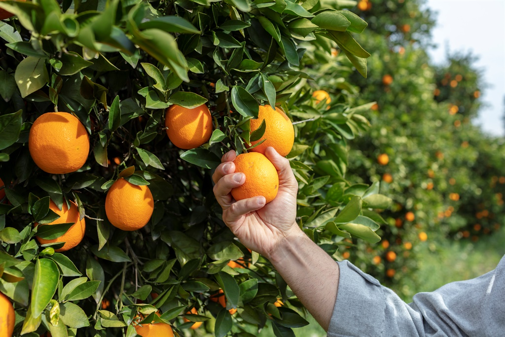 It now appears that South Africa's soft citrus such as naartjies and clementines are faring well, and oranges are particularly sought after by US consumers. Picture: iStock