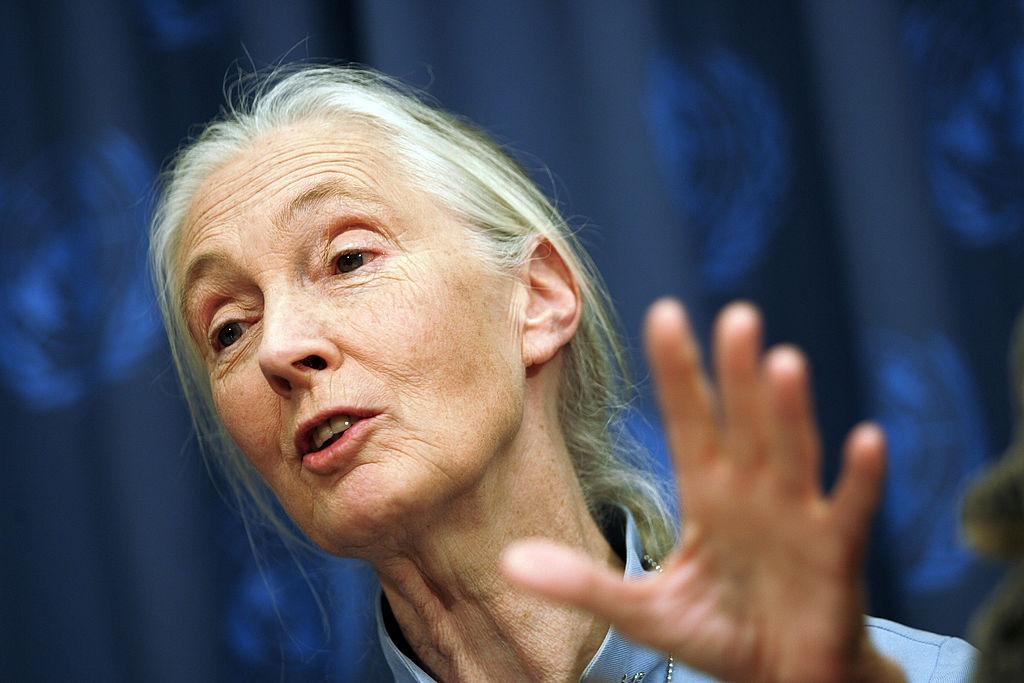 Dr Jane Goodall.
