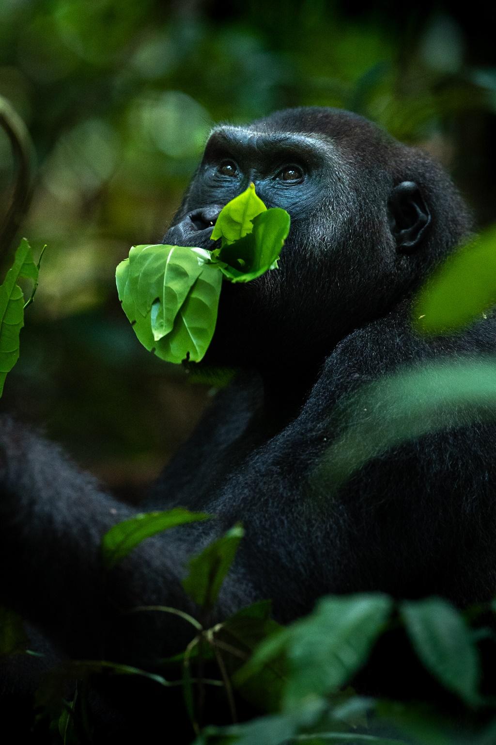 'n Sjimpansee in die Sentraal-Afrikaanse Republiek vreet gulsig aan 'n blaar.