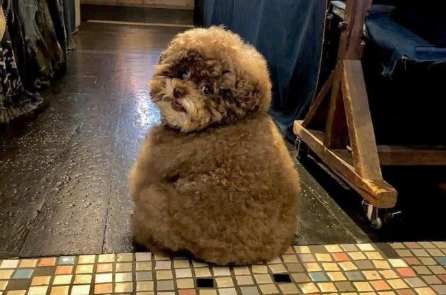 Kokoro the toy poodle has grabbed the internet by its heartstrings. (PHOTO: TWITTER/@keatxngrant)