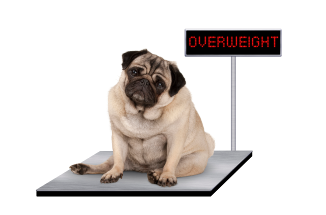 Is your pet overweight? (Photo: Getty Images/Gallo Images)