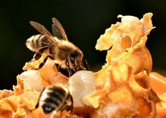 How honeybee venom can kill breast cancer cells