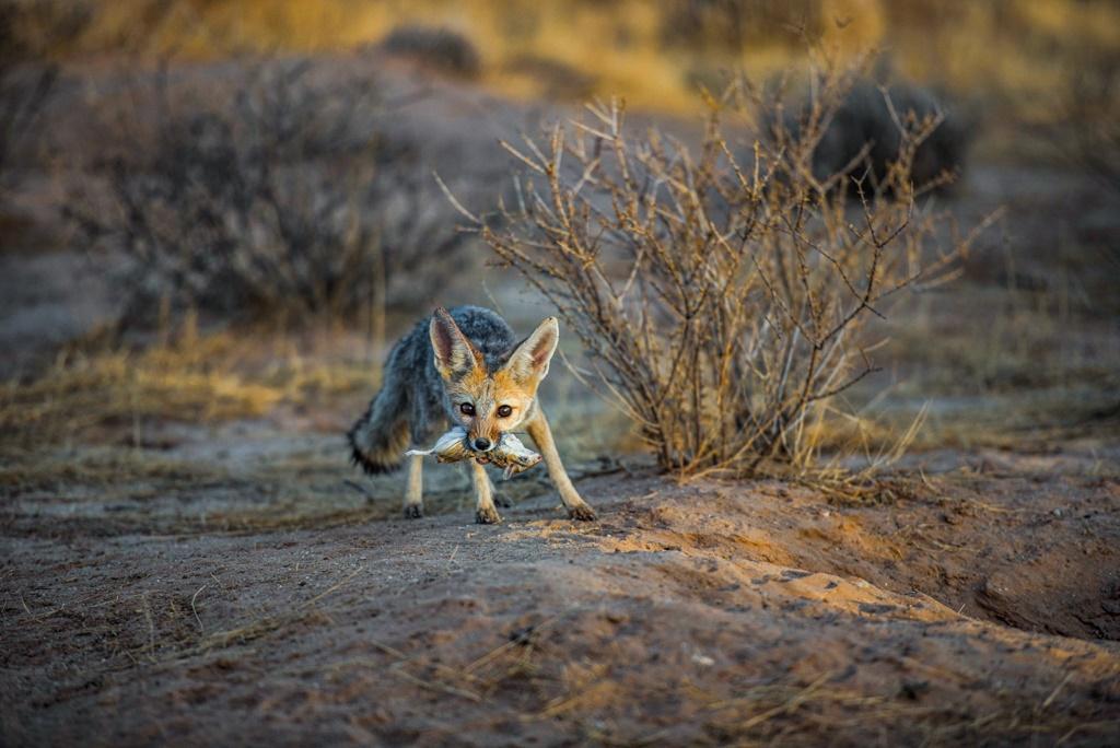 Photo: Melanie Maske. Cape fox with a Brants's whistling rat