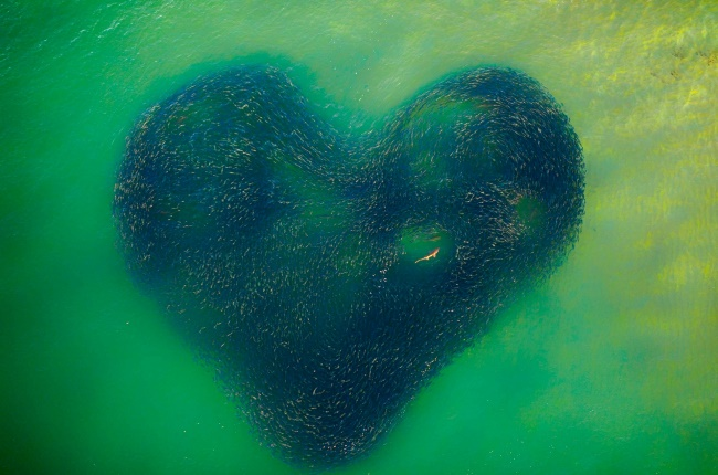 This incredible image of a shark inside a school of salmon was the overall winner of the competition. As the predator chased the fish, the shoal morphed into a heart shape. Taken at Avoca Beach, some 95km north of Sydney. (PHOTO: Jim Picôt)