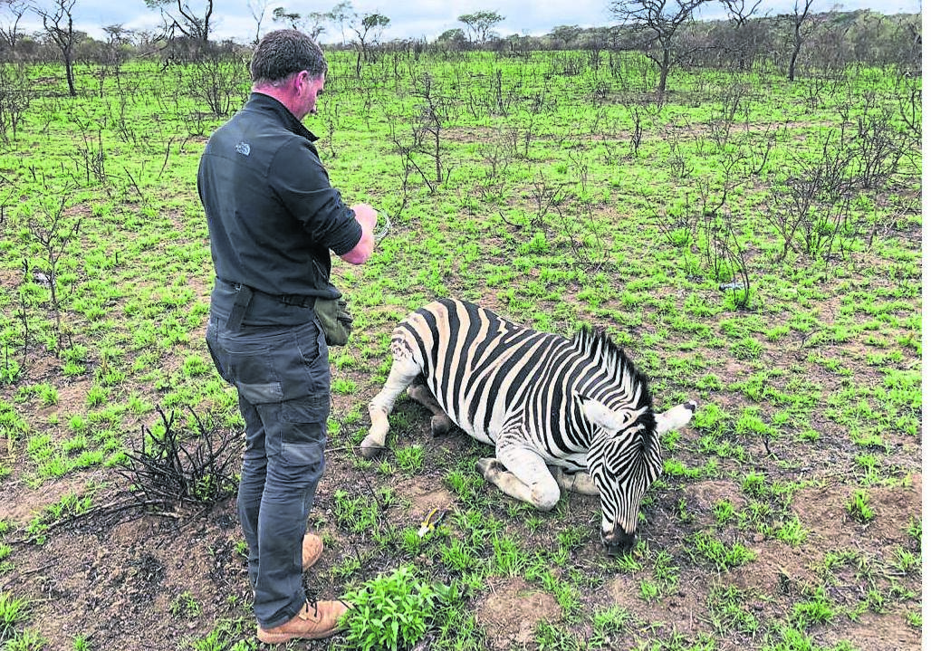 Wildlife vet Ryan van Deventer darts a zebra that was found with a snare around its neck at the Bisley Nature Reserve on Sunday.