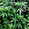Marijuana use while pregnant tied to higher odds for autism in kids