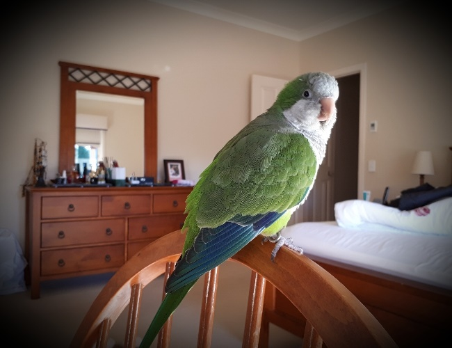 Willie the parrot saved a toddler from choking.