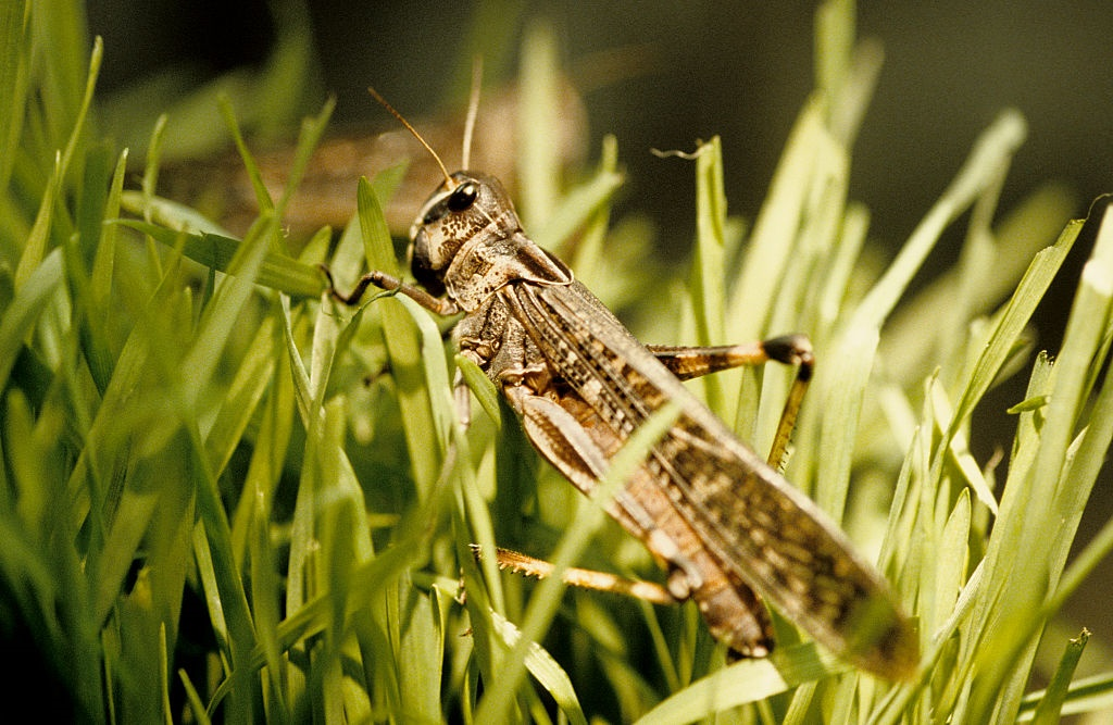 File photo of an African migratory locust on wheat.