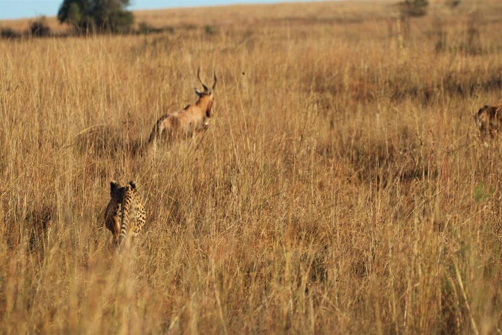 Njozi the cheetah was spotted after escaping from a nature reserve.