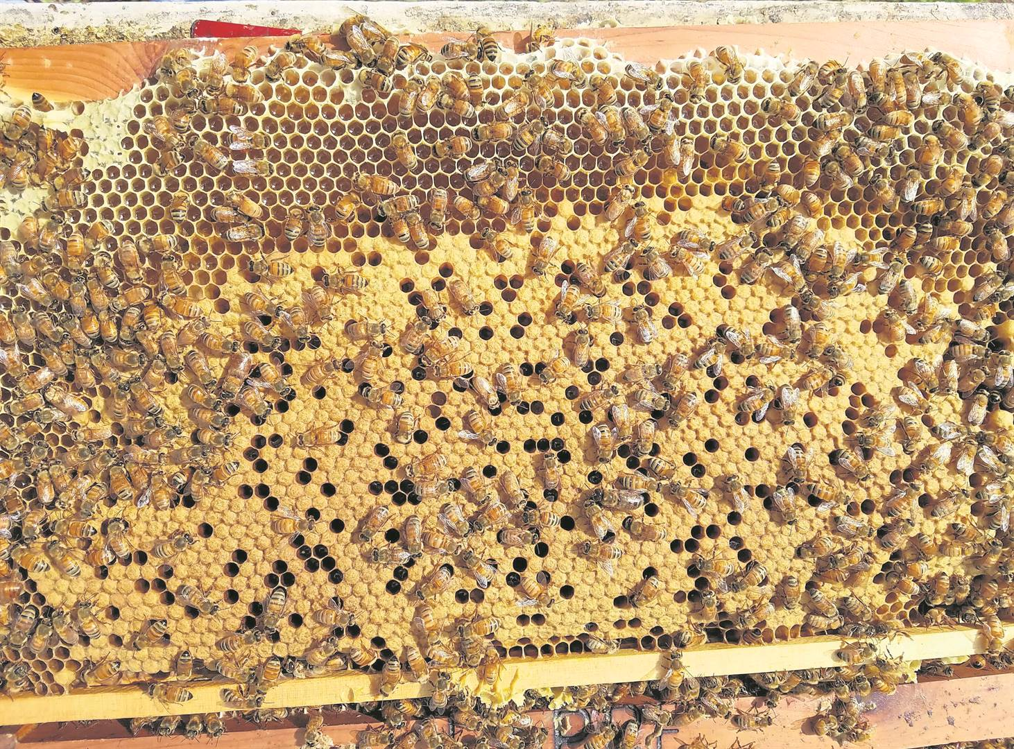 A bee hive frame that has been removed from the hive box.