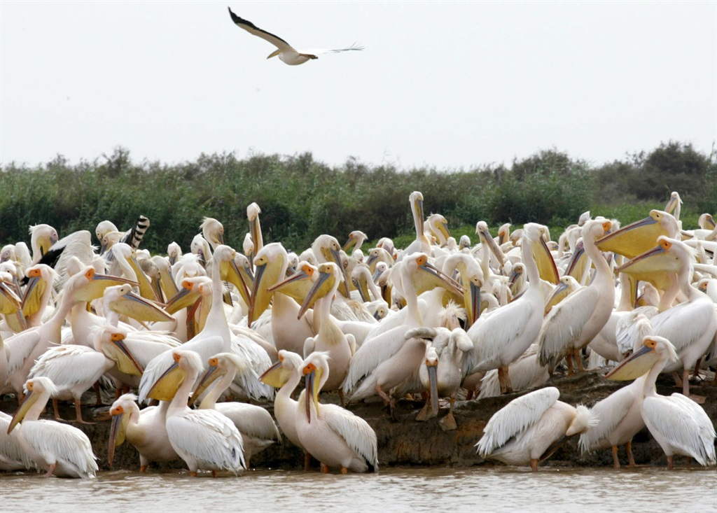 Picture taken 27 October 2005 shows pelikans in Senegal's Djoudj National Bird Sanctuary, located in the River Delta. No case of bird flu has been detected in the park where millions of birds spend the winter season.