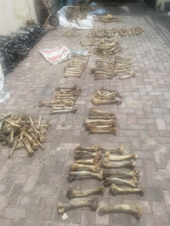 Lion bones
