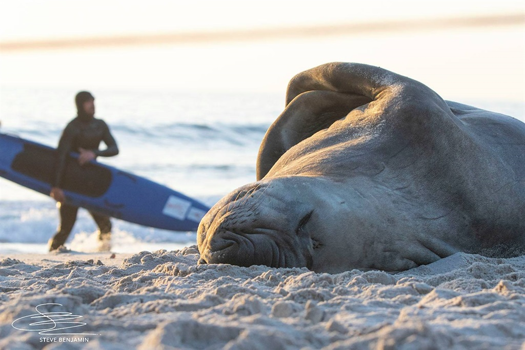 Buffel, the Elephant seal, is currently enjoying some time out on Cape Town's Llandudno beach.