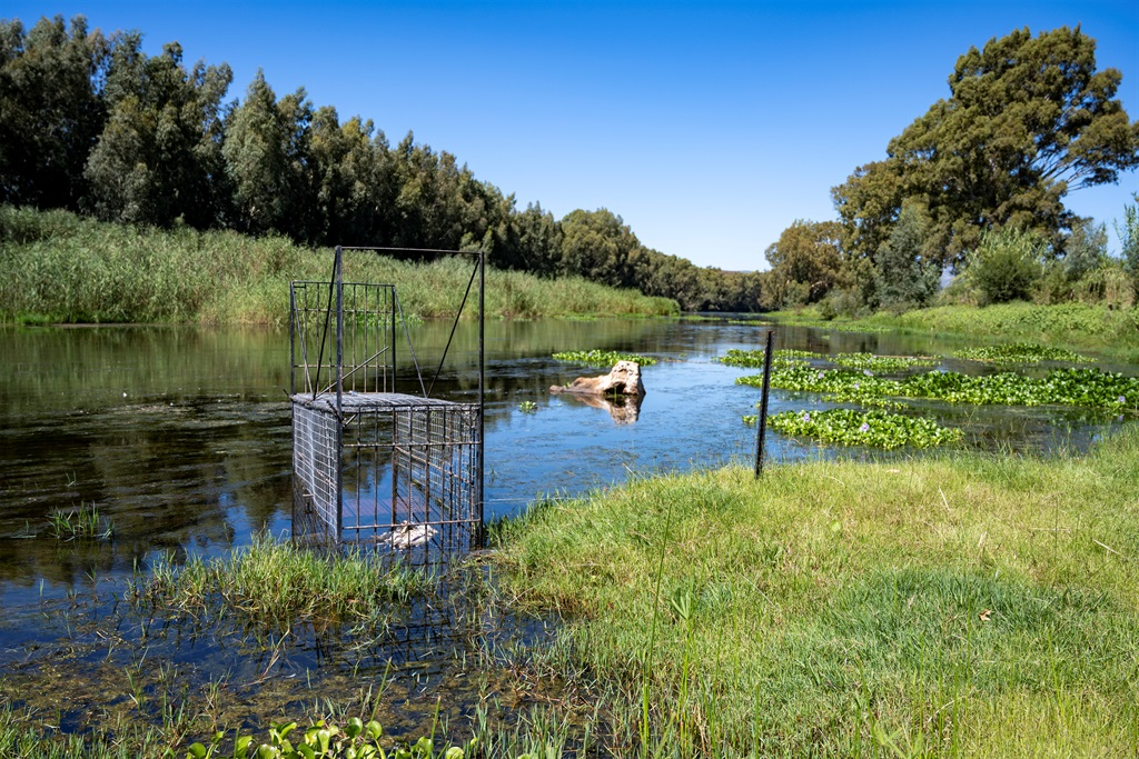 Cape Nature staff set cage traps with a dead chicken to lure crocodiles that escaped on 5 March. (Jaco Marais/Gallo Images)