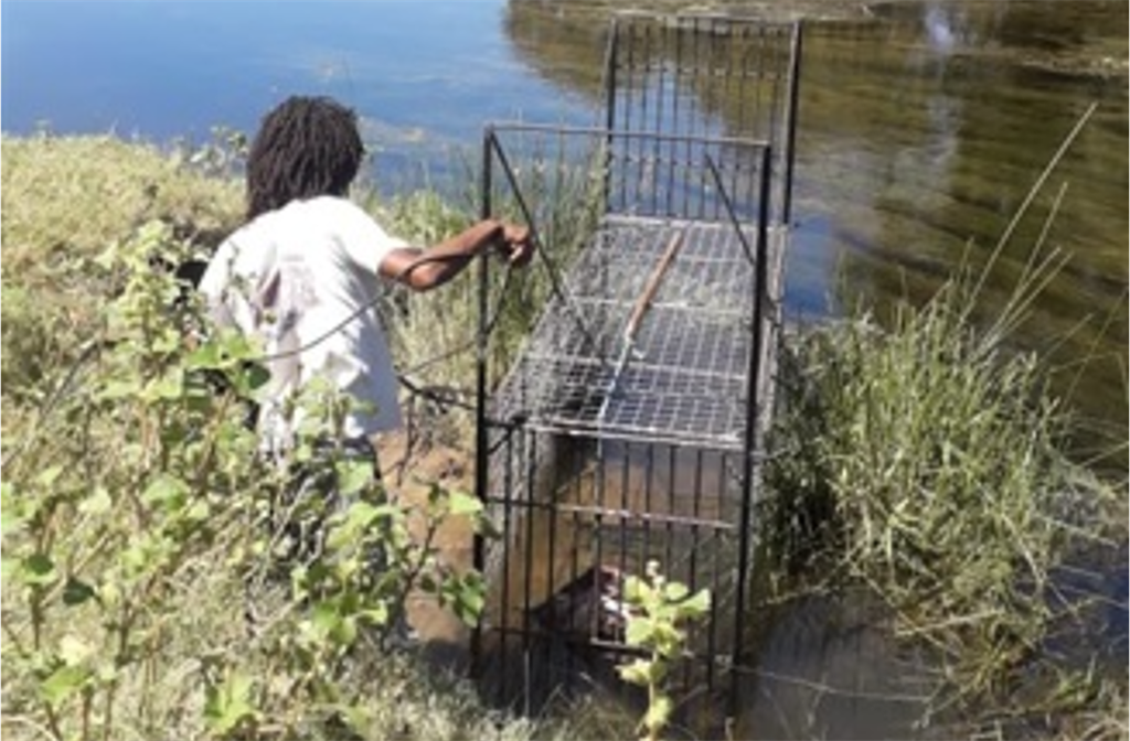 Cape Nature members set traps for crocodiles that escaped from a farm.