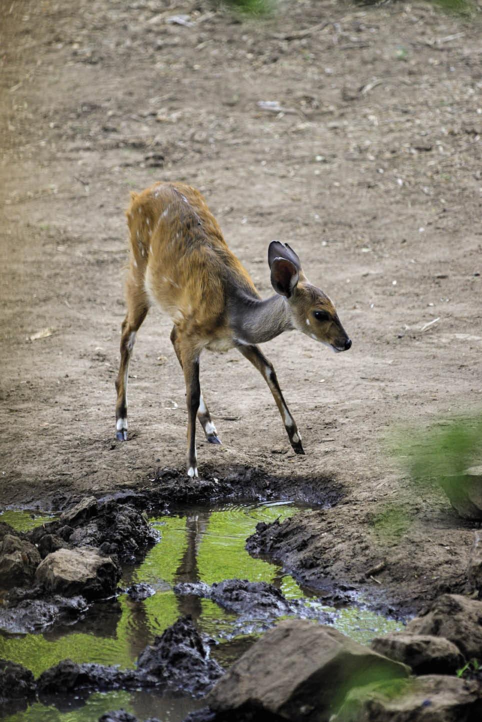 Bosbokke is volop in die oewerbos langs die Limpop