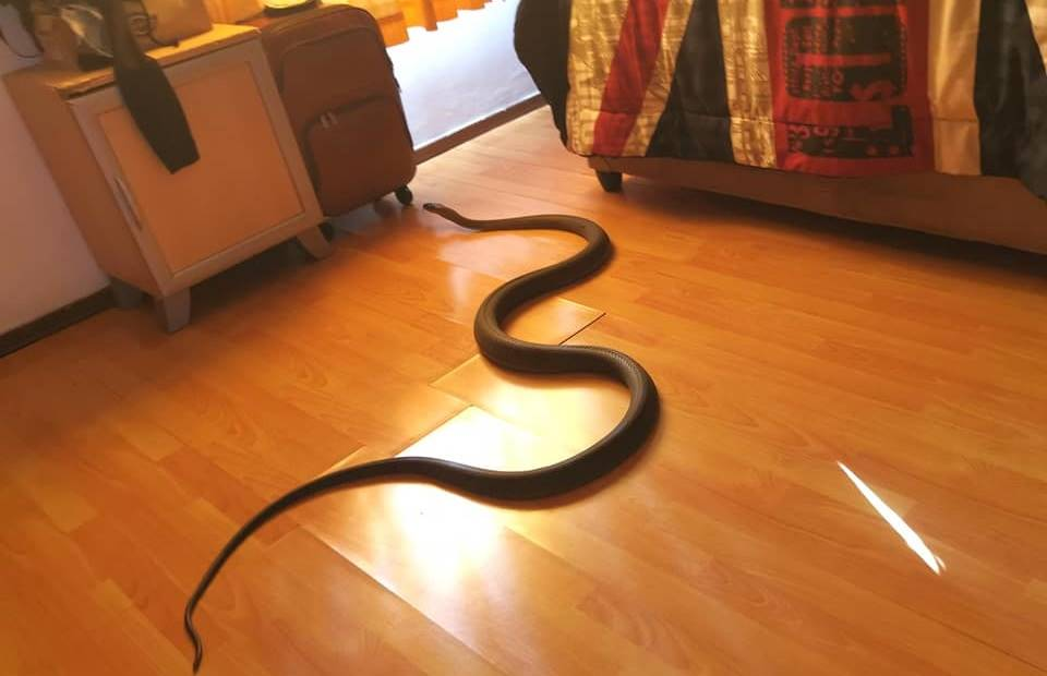 The black mamba snake that slithered into a Durban home.PHOTO: nICK EVANS