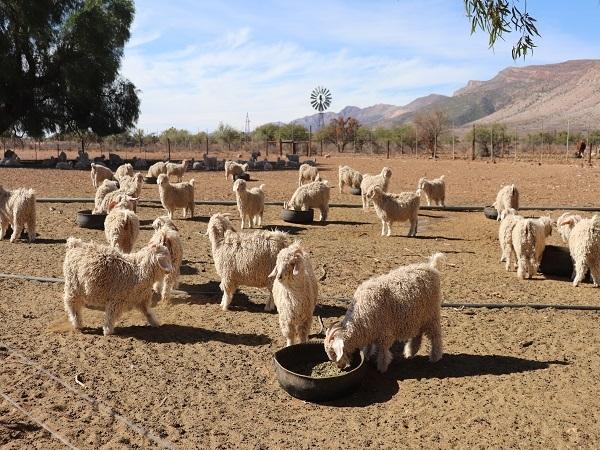 Boere in die westelike dele van die Oos-Kaap meet al vir meer as ses jaar lank ondergemiddelde reënval en moet diere bykans permanent voer om steeds produktiwiteit te behou. Foto: Fredalette Uys