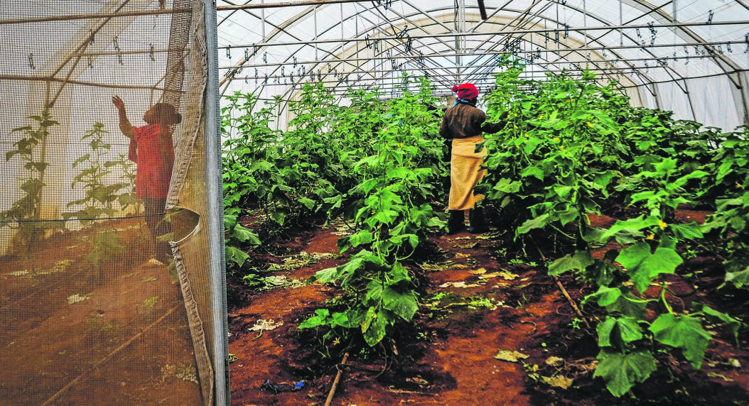 A worker checks produce at the Masakona Matsila Vegetable Farm in Limpopo. During the peak season, up to 1?377 trucks a week transport citrus worth R592?million from Limpopo and Mpumalanga via the N3 highway to the Durban harbour. Photo: Mpumelelo Buthelezi
