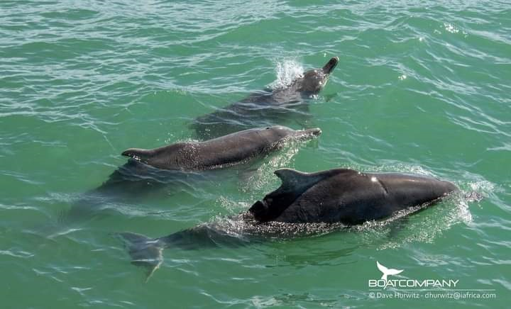 Three very rare Humpback dolphins were spotted it False Bay last week Friday.