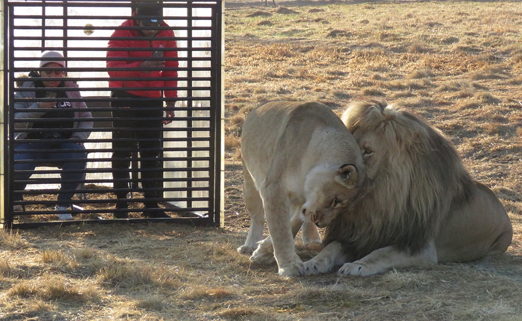 Lion cage South Africa