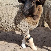 WATCH | Sheep puts best trotter forward with prosthetic leg