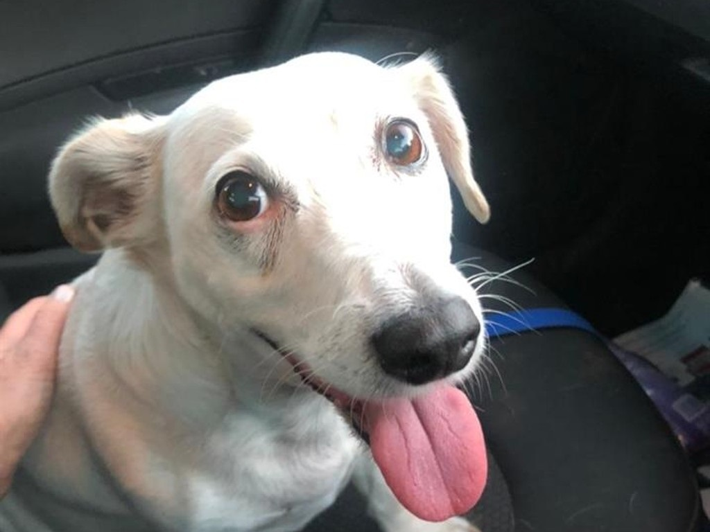 Jack Russel named Jolie was kidnapped at the Table Mountain on Saturday.