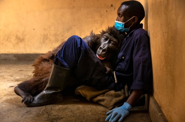 Ndakasi with her caretaker of 14 years, Andre Bauma. Ndakasi died in Andre's arms on 26 September after a prolonged illness. (PHOTO: Gallo Images/ Getty Images)