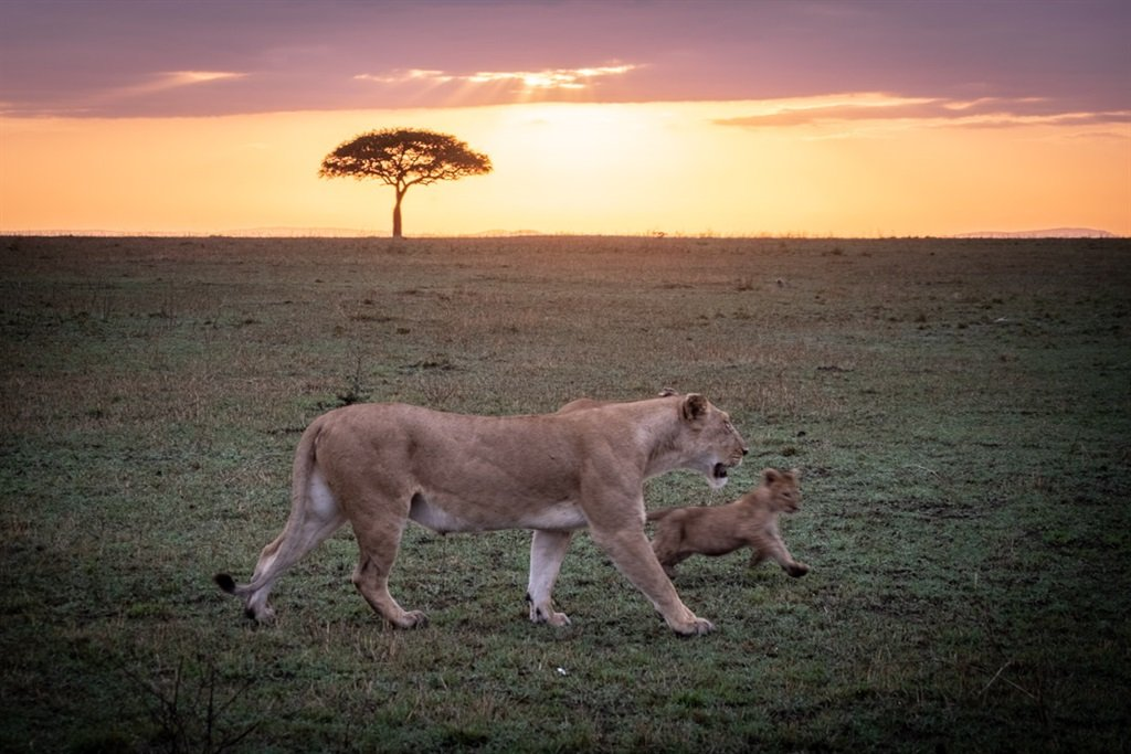 Lions on the plains of the Serengeti