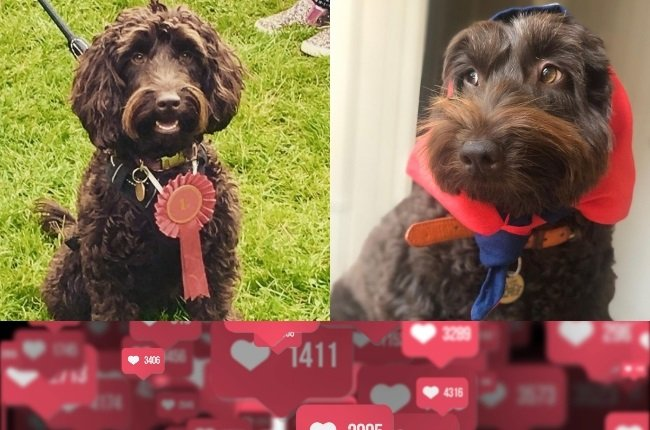 Writer Ben Rowell went to great lengths to make his cute brown cockapoo, Dublin, famous. (PHOTOS: Instagram)