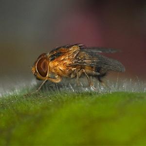 mango fly, mango worms, tumbu fly, mango fly, puts