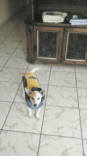 The missing Jack Russel Cathy is believed to be in the Woodlands area.