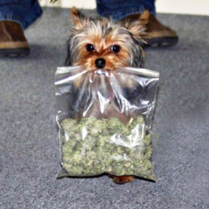 Little dog carrying a bag of dagga. Source unknown.