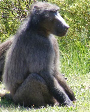A new committee has been established to manage human and baboon relations in Cape Town. (Duncan Alfreds, News24)