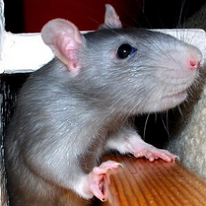 Rats In Your Home Health24