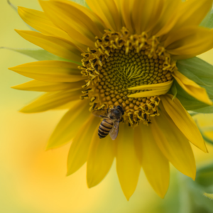 bee on flower a risk for sting allergies