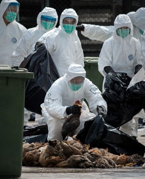 Officials wearing masks and protective suits pile dead chickens into black plastic bags. (Philippe Lopez, AFP)
