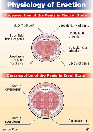 what makes the penis erect
