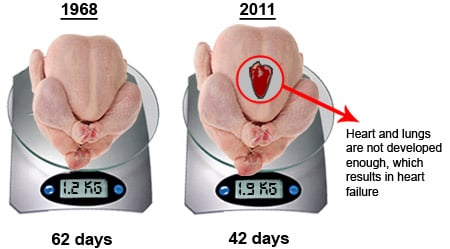 chickens are injected with steroids to accelerate their growth