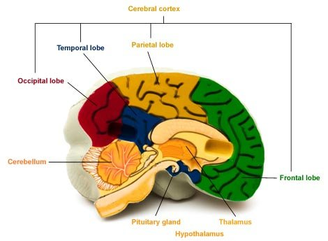 Brain areas and their functions | Health24
