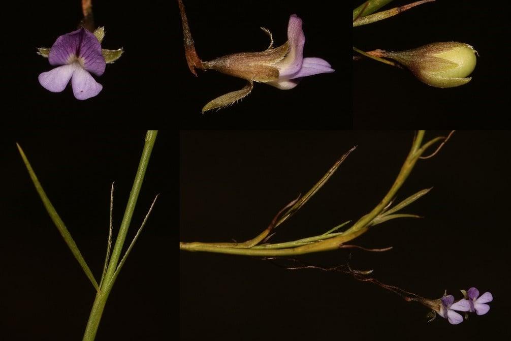 extinct flower