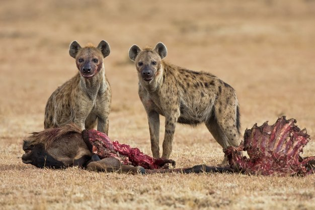 Hyenas are now selling for R26,000 each as they shake off their 'problem animal' image